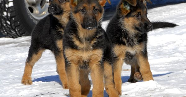 german shepherd puppies | ... German Shepherd dogs and German shepherd puppies