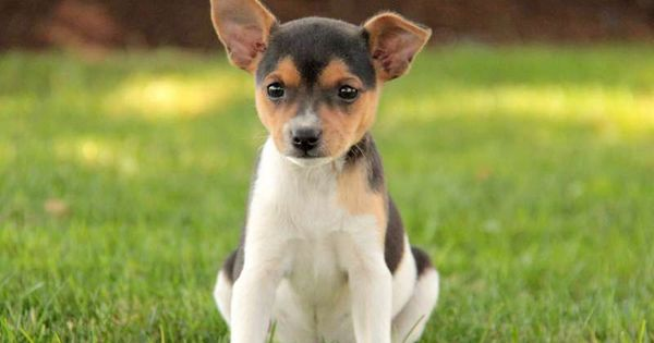 smooth fox terrier breeders gigi an adorable little smooth fox terrier puppy smooth 845