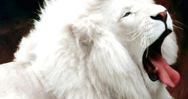 الاسد من الحيوانات المفترسة والنى يطلق عليها ملك الغابة واليوم سنتكلم عن نوع غريب من الاسود وهو الاسد الابيض و Rare Albino Animals Albino Animals Albino Lion