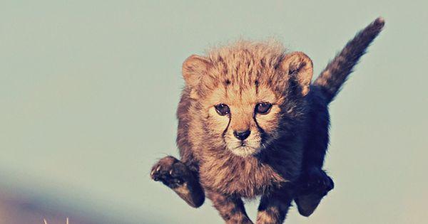#Wild Cat Running Wild Cat