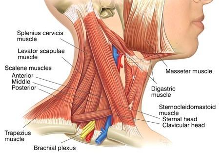 under chin muscle diagram neck muscle anatomy | fitness | pinterest | neck muscle ... #4