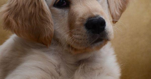 Golden retriever puppies are irresistible