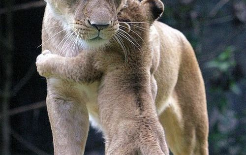 even baby lions need a hug sometimes