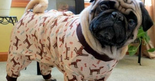 This pug who wants to know why you don't have your pajamas