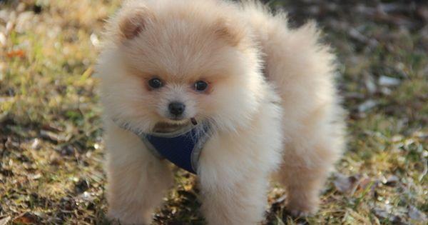 Pomeranian Puppy For Sale In Auburn Hills Mi Adn 33423 On