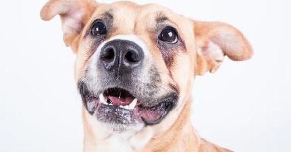 Kailey Urgent Dekalb County Animal Shelter In Decatur Georgia Adopt Or Foster 3 Year Old Spayed Female Shepherd Mi Animals Dog Adoption Animal Shelter