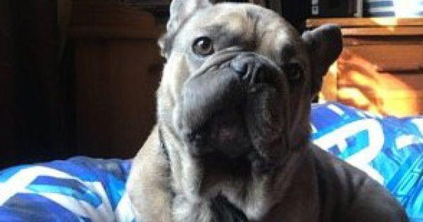 French Bulldog Vanishes In Norfolk Woods Lowestoft And Waveney