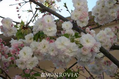 Angel S Blush Flowering Cherry Prunus Serrulata Taizo Item 2802 Usda Hardiness Zone 5 9 Wonderful Small Flowering Cherry Tree Flower Care Cherry Flower