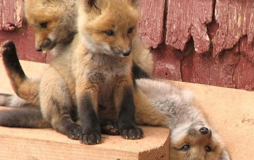 We were Blessed this season with 3 baby fox cubs born under