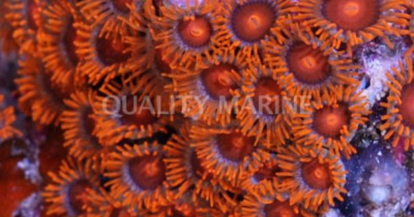 Zoa Orange Mouth Orange Face W Orange Skirt Bam Bam Orange Zoanthid Sp Wild Polyps Button Zoanthid Orange Skirt Nano Aquarium Reef Tank