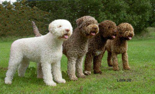Lagotto Romagnolo Water Dog Breeds Lagotto Romagnolo Rare Dogs