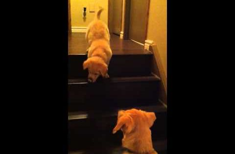Pup teaching puppy to go down stairs / via YouTube