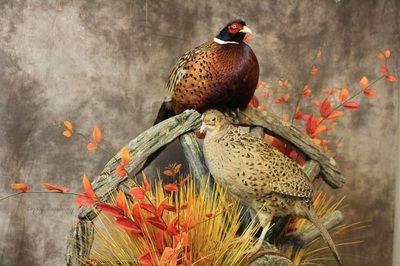 Pheasants Pheasant Pheasant Mounts Taxidermy