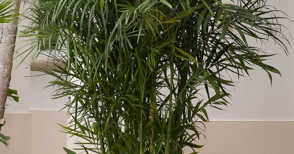 Reed Palm Reed Palm Also Called Cane Bamboo Bamboo Palms