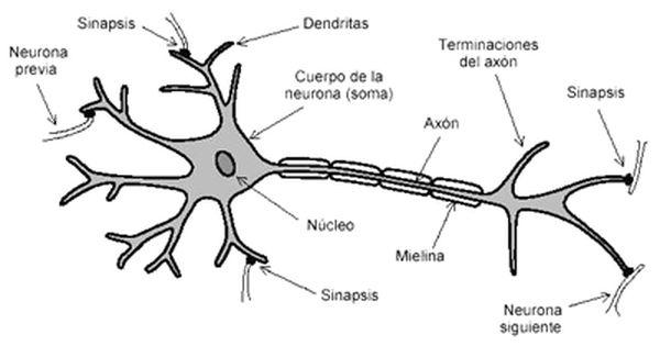 Dibujos Imagenes Biologia Sistema Aparato Dibujos De Neuronas Y Sus Partes Neuronas Biología Neurona Motora