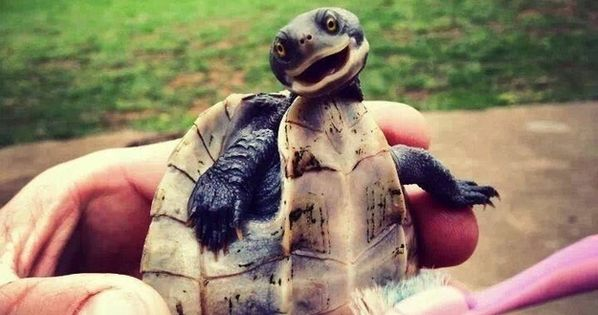 Here is a photo of a turtle being tickled with a tooth brush. You're welcome. Giggles @Emily Schoenfeld Schoenfeld Rider