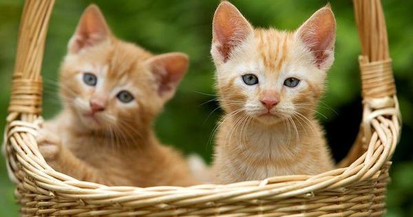 Cat Ginger Tabby Kittens In Basket 포트폴리오