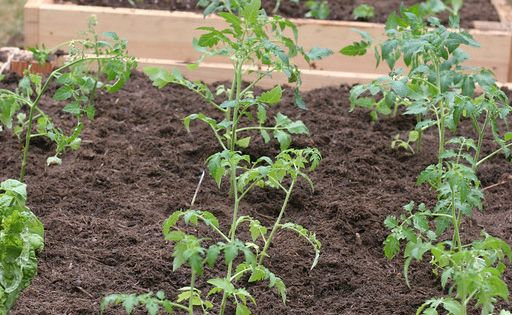 baby tomato plants :)