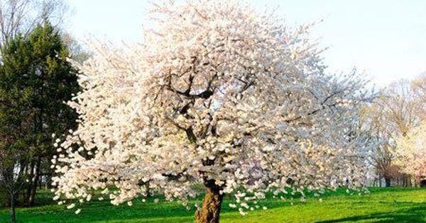 Autumn Cherry Tree Fast Growing Trees Growing Tree Flowering Trees