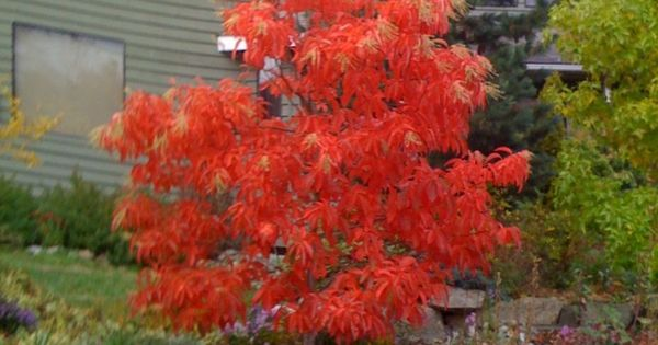 Sourwood brilliant in the fall 15 39 30 39 tall slow for Slow growing trees for front yard