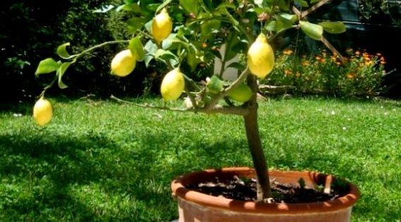 Cultiver des agrumes en pots pots - Faire pousser citronnier ...