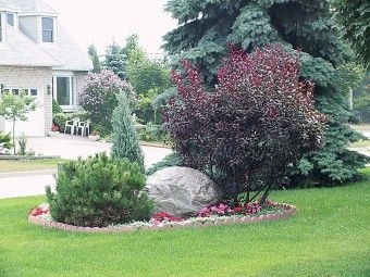 Purpleleaf Sand Cherry Plants Drought Tolerant Garden Dwarf Plants