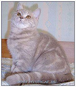British Shorthair Cat Lilac Classic Tabby British Shorthair Cattery British Shorthair Cats