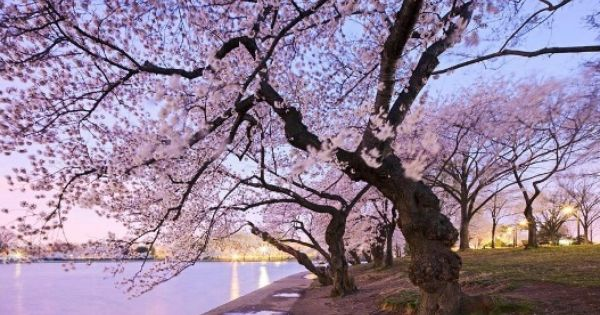 Japon Total Lo Mejor De Japon En Espanol Cherry Blossom Cherry Blossom Tree Cherry Blossom Theme