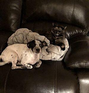 Elmwood Park Nj Chihuahua Meet Ceecee A Dog For Adoption Pets Pet Adoption Dog Adoption
