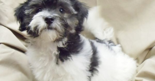 Havanese Puppy For Sale In Winston Salem Nc Adn 42254 On Puppyfinder Com Gender Male Age 12 Weeks Old Puppies For Sale Havanese Puppies For Sale Havanese Puppies Puppies For Sale