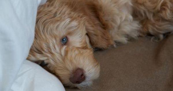 Blonde Haired Blue Eyed Santi The Australian Labradoodle