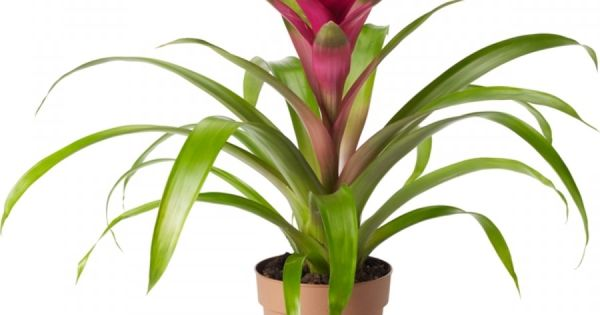 juvel er en storsl tt tropisk plante med flott blankgr nt bladverk hvorfra det vokser opp en. Black Bedroom Furniture Sets. Home Design Ideas