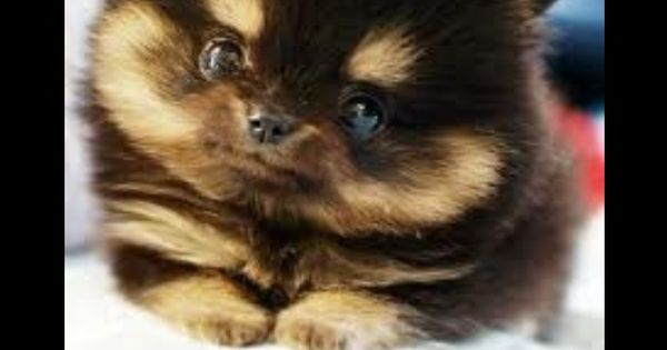 Pomeranian husky, Husky mix and Pomeranians on Pinterest