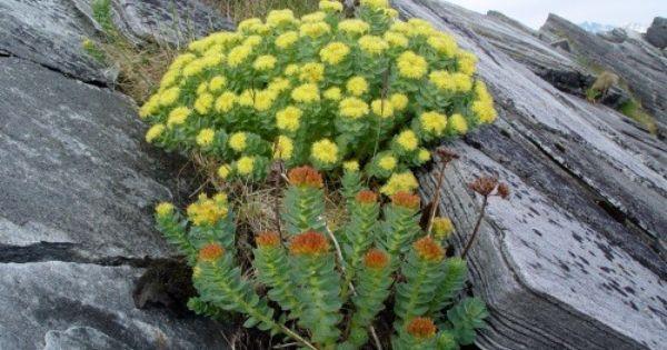 ロディオラ Rhodiola 不安や慢性疲労にも効果があるロシアでは伝統のハーブ 薬草 ハーブ コルチゾール