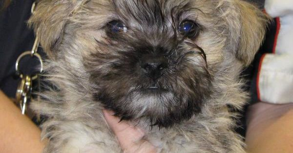 cairn terrier shih tzu mix these are some of the puppies