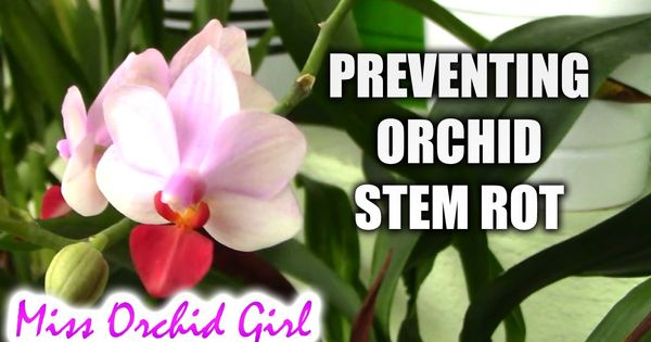 How To Prevent Stem Rot On Phalaenopsis Orchids Orchids Phalaenopsis Orchid Orchid Plants