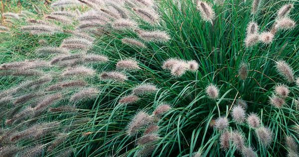 Fountain grass bears tiny red brown fox tails ornamental for Brown ornamental grass plants