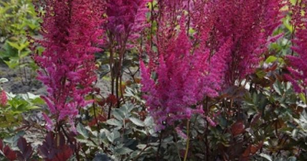 Astilbe Chinesis Mighty Chocolate Cherry Zone 3 8 Flowers Hot Pink Plumes Blooms 2 4 Weeks Starting Late July Pe Part Shade Flowers Plants Shade Flowers