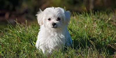 Looking For Maltese Dog Names You Ve Come To The Right Place My Friend The Maltese Is An Adorably Sweet Dog With A Big Vic Fluffy Dogs Cute Dogs Dog Images