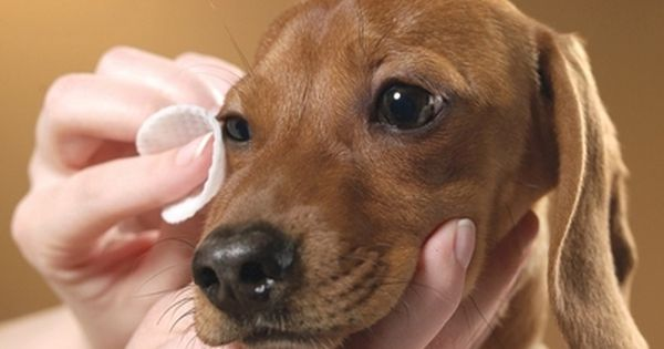 Picture Of Stye On A Dog S Eye
