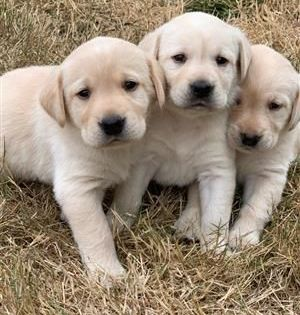 Labrador Puppies And Dogs For Sale Pets Classifieds Oregonlive