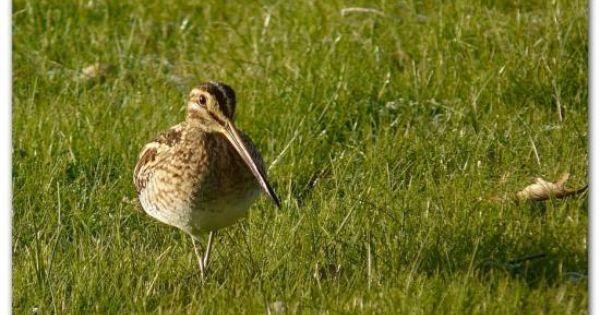B cassine des marais naturepassion oiseaux de nos for Oiseaux de nos jardins en belgique