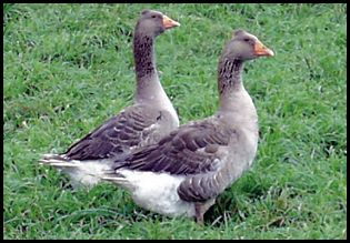 Tufted Toulouse Geese Animals Livestock Goats