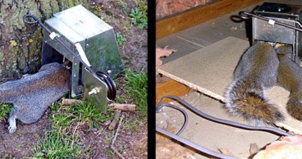 How To Squirrel Kill Trap Kania Squirrel Traps Kania 2000 Squirrel Trap Traps That Kill Squirrels Ultimate Squirrel Kill Trap Skunk Trap Rat Traps Squirrel