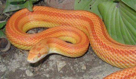 Albino Striped Corn Snake For Sale In 2020 Corn Snakes For Sale Snakes For Sale Corn Snake