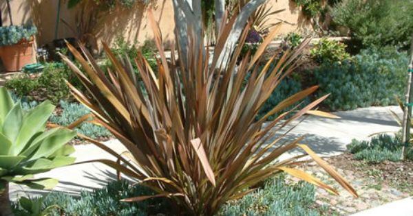 Phormium Tenax Atropurpureum Plants New Zealand Flax Summer Lawn Care