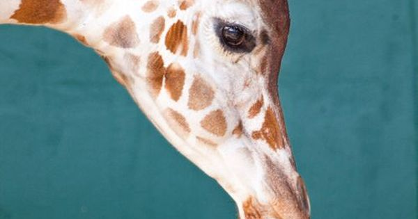 #Baby giraffe featured on People Pets. She's a star already! Born 1/27/12.