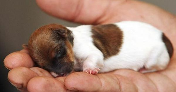 Meet the tiny Jack Russell Chihuahua-cross puppy whose face is the size