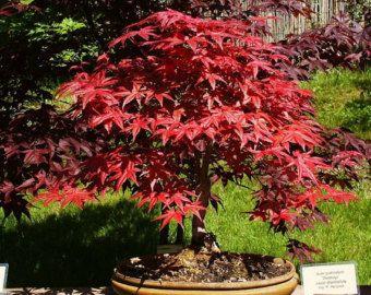 Heirloom 10 Seeds Red Maple Scarlet Maple Acer Rubrum Bonsai Tree