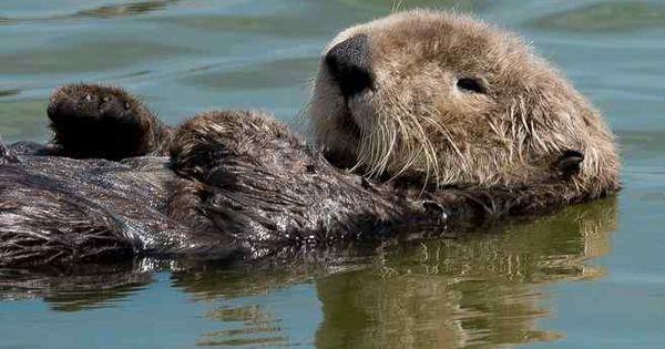 A Sea Otter Floats In Elkhorn Slough Kim Steinhardt